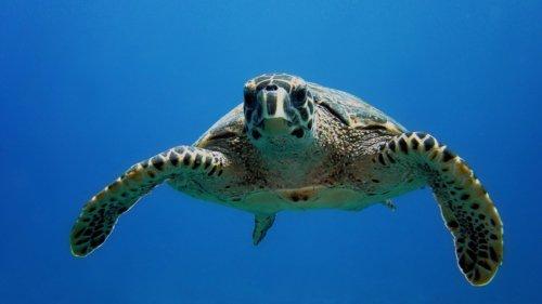 Maldives Turtle Snorkelling