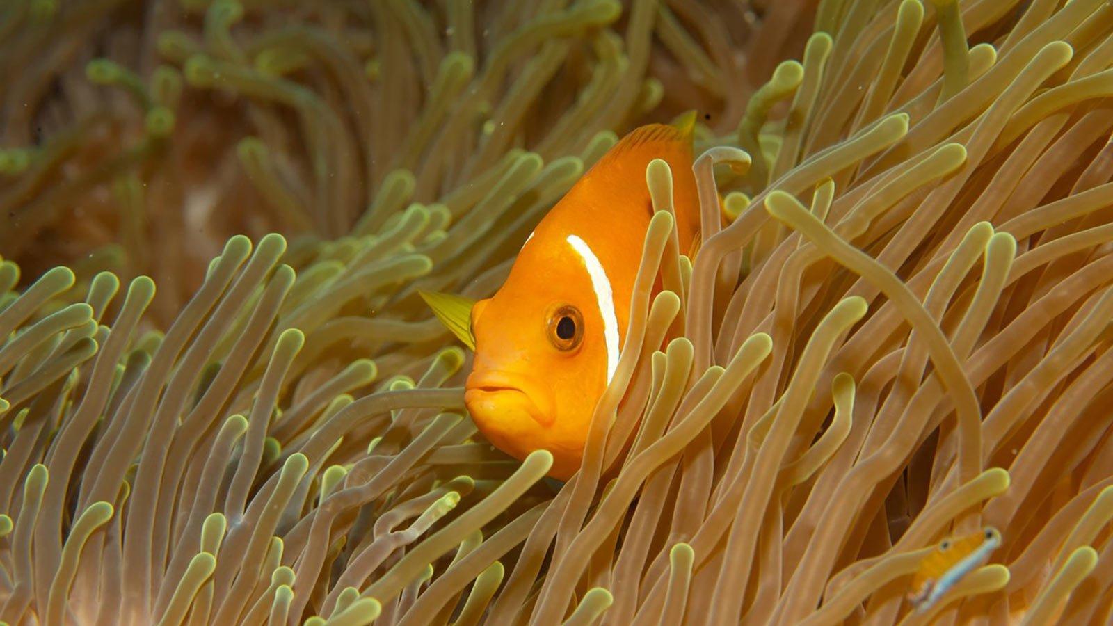 Maldives Snorkelling clownfish