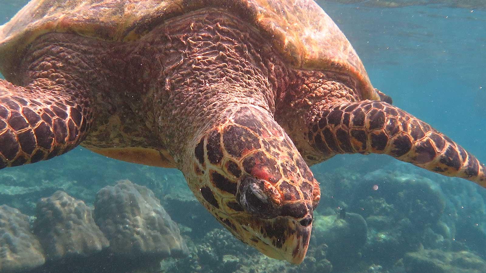 Komandoo Maldives Resort Turtles