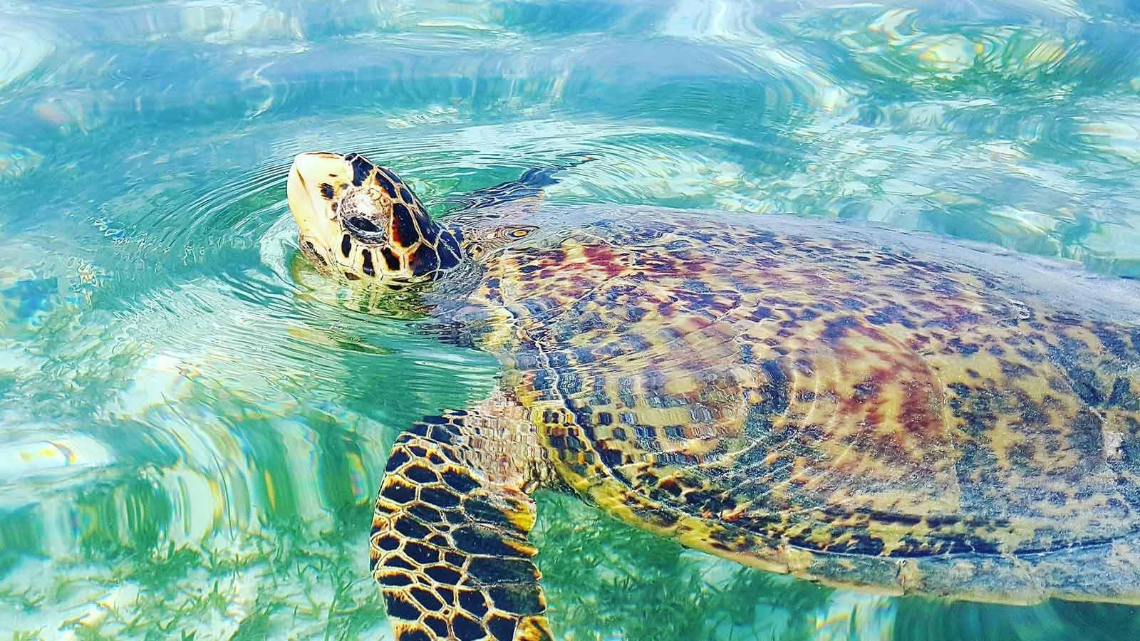 Maldives Hawksbill turtle