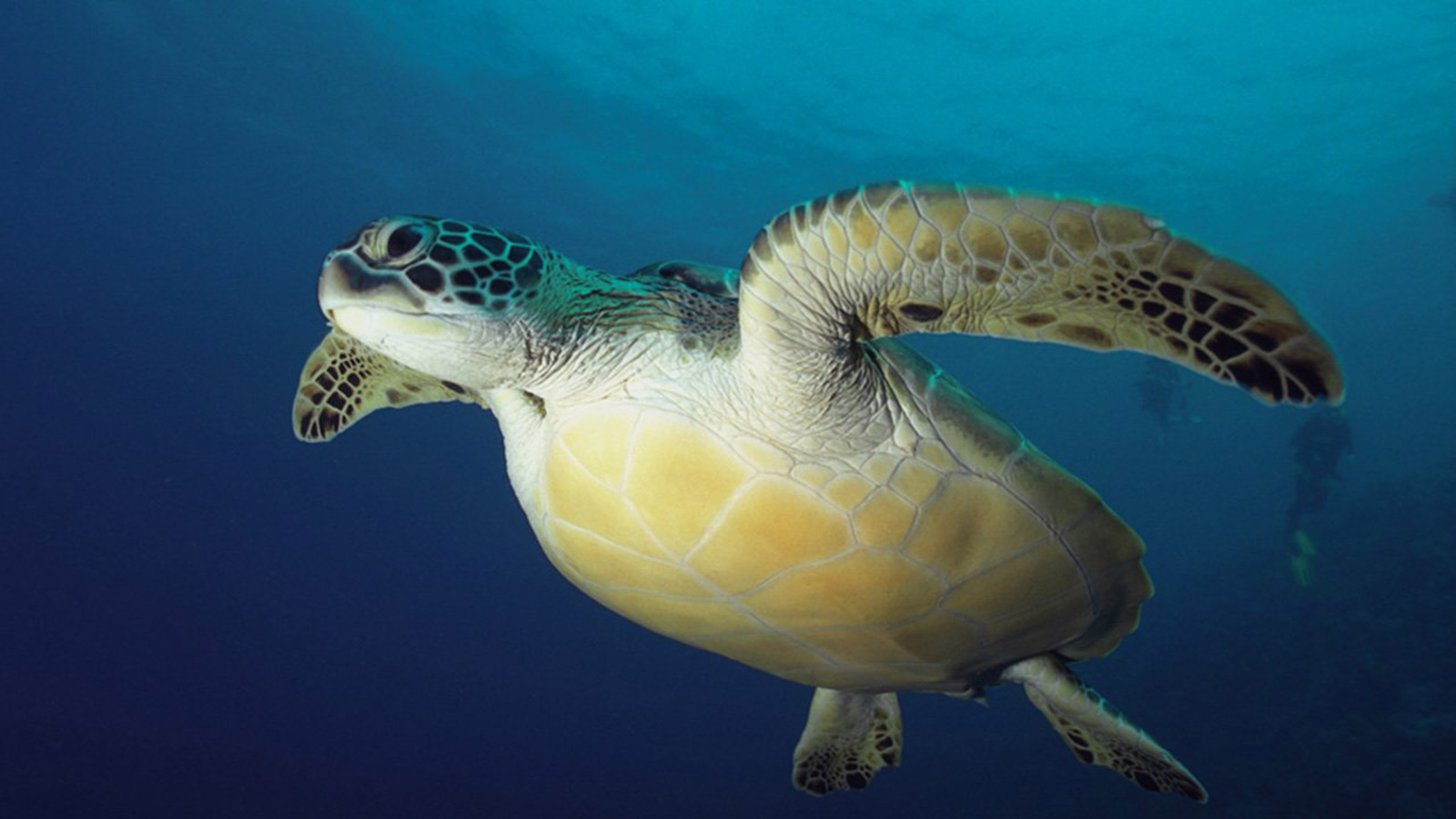 Sea Turtle Maldives
